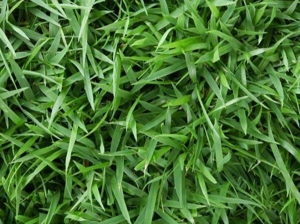 Mengenal Lebih Dekat Dengan Rumput Hias Dan Cara Perawatannya