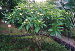 pohon kemboja