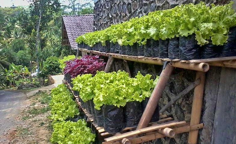 TIPS Cara Menanam Sayuran Di Rumah Tanpa Ribet