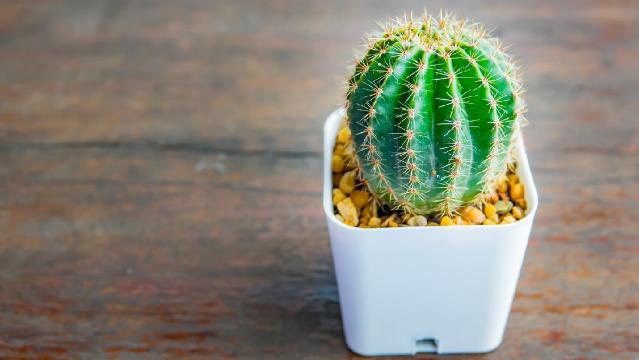 Tips Merawat Tanaman Kaktus Dirumah Dengan Mudah
