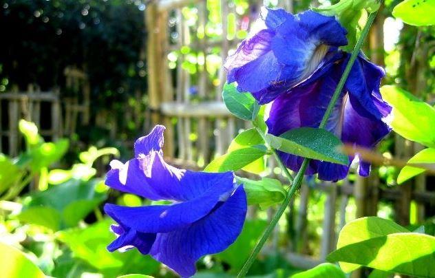 Selain Cantik Inilah Manfaat Bunga Telang Untuk Kesehatan