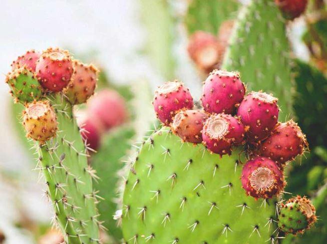 Cara Mudah Merawat Tanaman Kaktus Didalam Ruangan