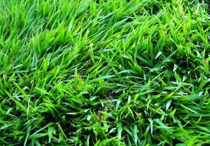 Cara Menanam Dan Merawat Rumput Jepang Dengan Baik Dan Benar